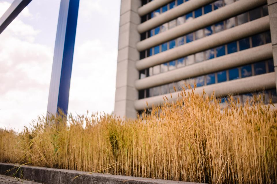 wheat on campus in ag plaza