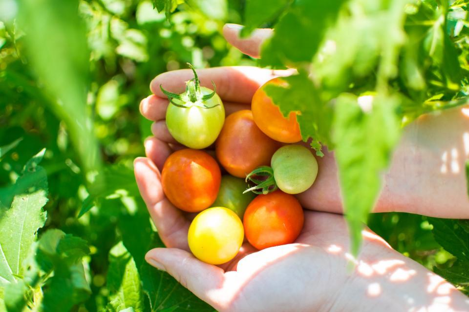 cherry tomatoes in hands