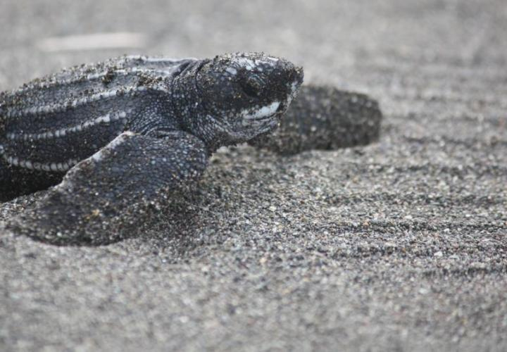 Turtle in Costa Rica